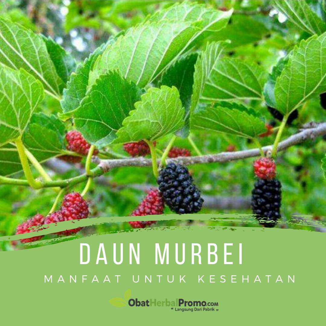 Manfaat Daun Murbei untuk Kesehatan - Obat Herbal Promo